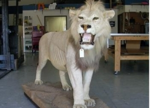 Taxidermy_Lion-445x320